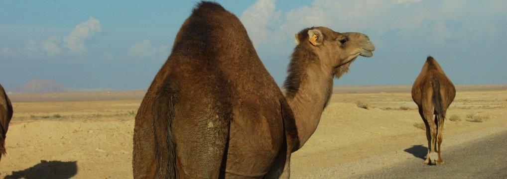 Mangel-Kamele
