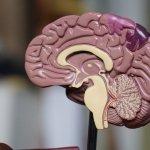 Gehirntraining Modell